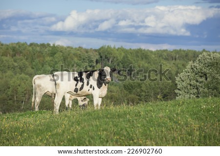 Holstein cattle grazing on a beautiful summer afternoon - stock photo