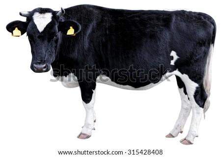 Holstein Cow - stock photo
