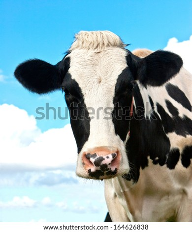 Holstein Cow in a grassland in northern of Germany - stock photo