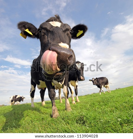 Holstein cow with tongue sticking out - stock photo