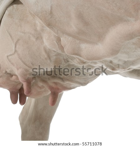 Holstein cow, 5 years old, against white background, low angle view - stock photo