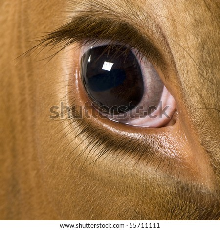 Holstein cow, 4 years old, looking at camera, close up on eye - stock photo
