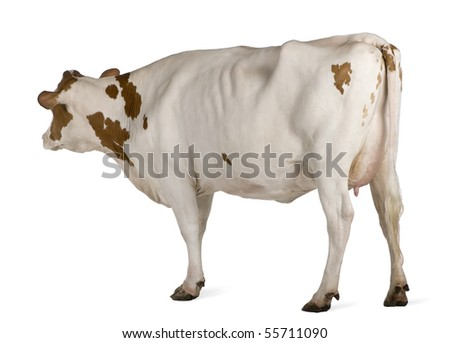Holstein cow, 4 years old, standing against white background - stock photo