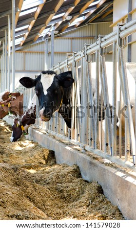 Holstein cows in the stable - stock photo
