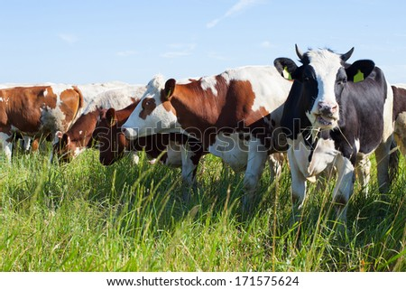Holstein cows in their daily chit chat. Standing on the meadow on a summer day. - stock photo