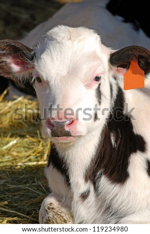Holstein dairy calf laying in straw. - stock photo
