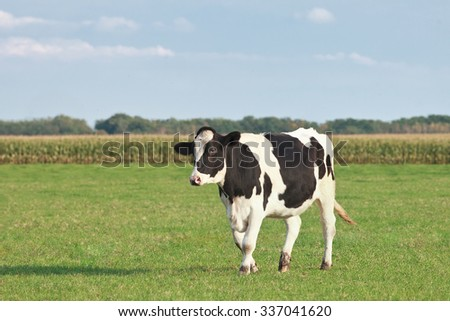 Holstein-Friesian cattle in a green meadow with cornfield on the background, The Netherlands.