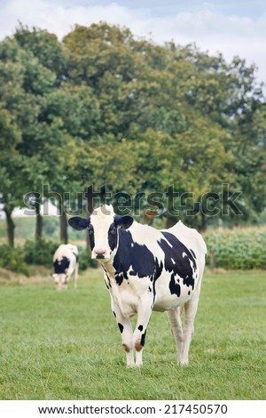 Holstein-Frisian cattle in a green Dutch meadow with a row of trees - stock photo