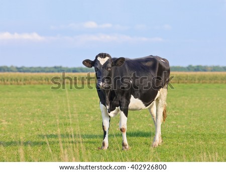 Holstein-Frisian cattle in a green meadow with cornfield on the background, The Netherlands. - stock photo