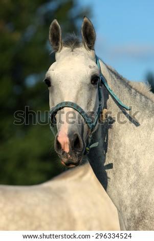 Holstein horse portrait, twilight - stock photo