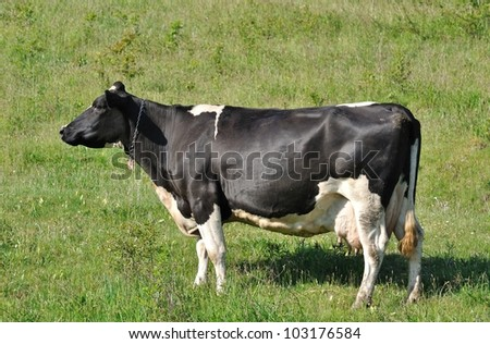 Holstien cow standing in a sunny green field - stock photo