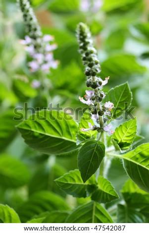 Holy basil  flowers - stock photo