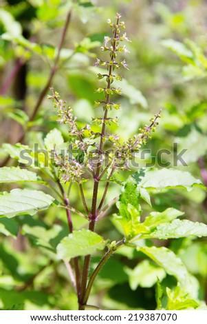 Holy basil flowes - stock photo