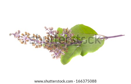 Holy basil leaves isolated on white background. Ocimum tenuiflorum, also known as Ocimum sanctum, Holy basil, or tulasi has an important role within the Vaishnavite tradition of Hinduism - stock photo