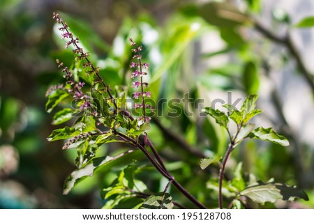 Holy basil tree - stock photo