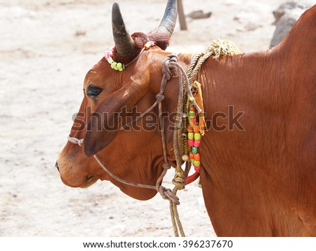 holy cow on the banks of ganges river    - stock photo