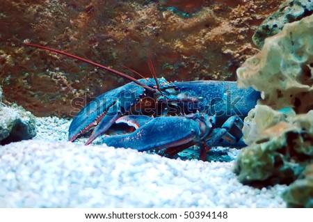 Homarus gammarus - Lobster in Aquarium - stock photo