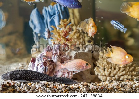 Home aquarium with fish Parrots, Hypostomus plecostomus and Malawi cichlids - stock photo