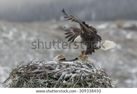Home Delivery - It's a cold snowy morning, but the bald eagles continue to deliver the goods. A bald eagle deliveries nesting material to the nest with its mate looking on. - stock photo