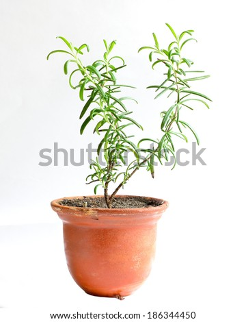 Home flower in a pot. rosemary - stock photo