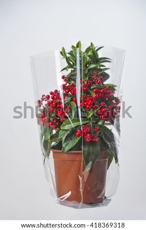 home flower with red berries wrapped in plastic - stock photo