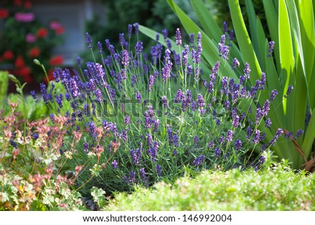 Home garden with freshly flowering lavender flower - stock photo