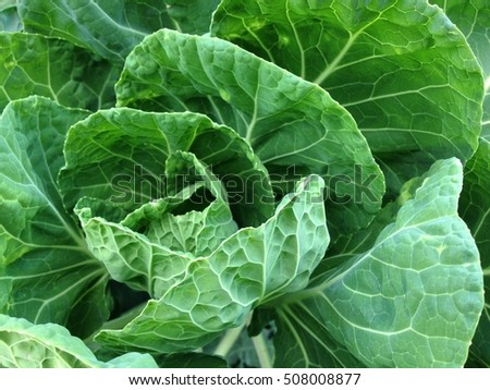 Home grown cabbage