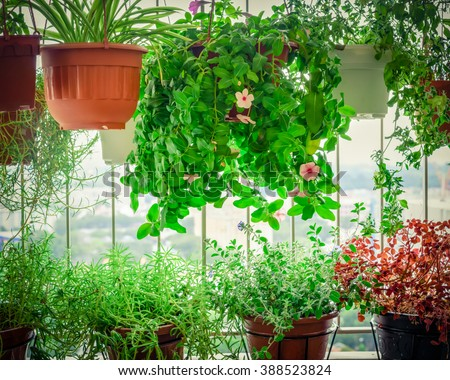Home grown flowers and herbs in the hanging pots at balcony at Ang Mo Kio area. Growing a garden in a sharing apartments balcony/corridor is popular in Singapore. Urban farm concept. Vignette added. - stock photo