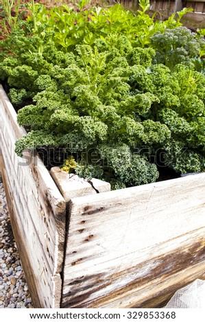 Home grown kale leaves in vegetable garden - stock photo