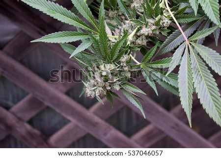 how to grow homegrown weed