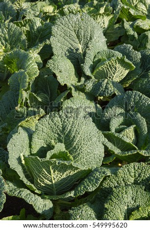 Wonderful Quotwinter Cabbagequot Stock Photos Royaltyfree Images  With Excellent Home Grown Organic Cabbage Winter Savoy Brassica Oleracea Tundra On With Breathtaking Screwfix Garden Storage Also Water Garden Products In Addition Where Are The Hanging Gardens Located And Welwyn Garden City Golf Club As Well As Free Parking Covent Garden Additionally Tube Covent Garden From Shutterstockcom With   Excellent Quotwinter Cabbagequot Stock Photos Royaltyfree Images  With Breathtaking Home Grown Organic Cabbage Winter Savoy Brassica Oleracea Tundra On And Wonderful Screwfix Garden Storage Also Water Garden Products In Addition Where Are The Hanging Gardens Located From Shutterstockcom