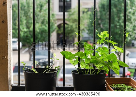 Home grown organic vegetable, bean in the pots over the apartment patio/terrace/balcony/porch in Houston, Texas. Urban farm and container gardening concept. Great for agriculture publication.