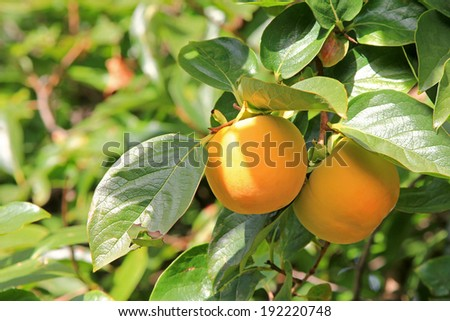Home grown Persimmon tree with ripe fruit in yellow orange shade in the orchard in Europe - stock photo