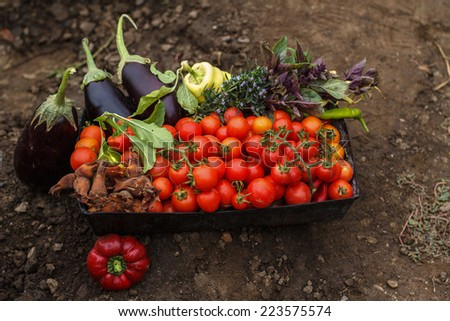 Home grown tomatoes in a garden and other vegetables - stock photo