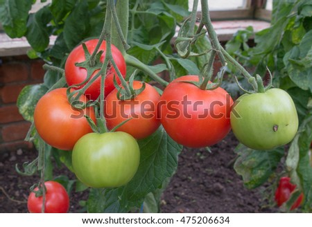 home grown tomatoes stock photos, royaltyfree images  vectors, Natural flower