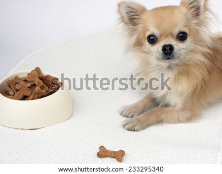 Home made bone shaped dog cookies with honey, whole wheat flour, banana and milk, longhair chihuahua waiting for a treat in background - stock photo