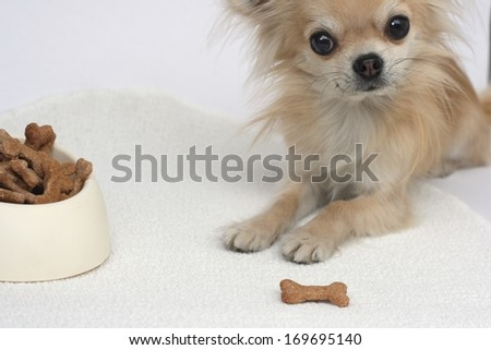 Home made dog cookies shaped like a bone in a bowl and longhair chihuahua looking at camera waiting for its treat - stock photo