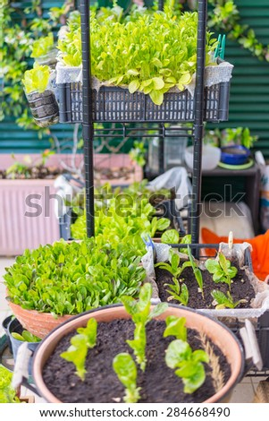 Home made plant nursery and organic vegetable garden for healthy eating. Selective focus on young lush green spinach leaves and lettuce by home gardening and organic farming. - stock photo