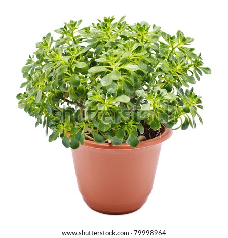 home plant in pot isolated on white - stock photo