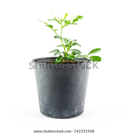 Home plant in pot isolated on white background - Close-up the tree in flowerpot. Plant in a pot. - stock photo