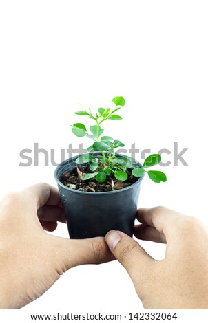 Home plant in pot with hand holding isolated on white background - Close-up the tree in flowerpot. Plant in a pot. - stock photo