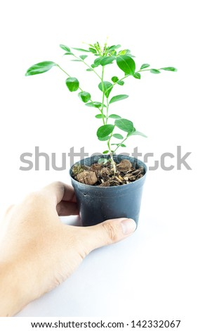 Home plant in pot with hand holding isolated on white background - Close-up the tree in flowerpot. Plant in a pot.