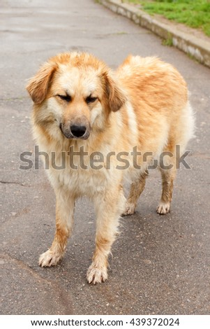 homeless big dog standing on the road - stock photo