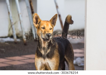 Homeless dog in downtown, Sakon Nakhon Thailand