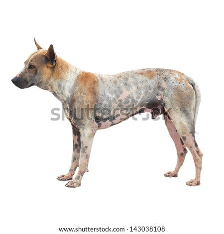homeless dog isolated white background - stock photo