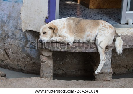 Homeless dog sleeping on the street in the town of Pushkar, India - stock photo