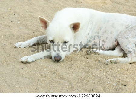 Homeless stray dog in thailand. - stock photo