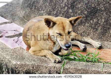 homeless thai dog on concrete. - stock photo