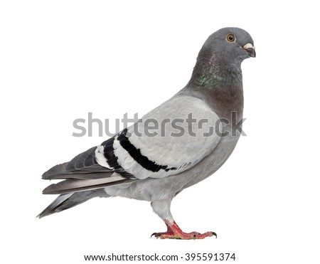 Homing pigeon isolated on white - stock photo
