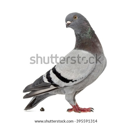 Homing pigeon pooping in front of a white background